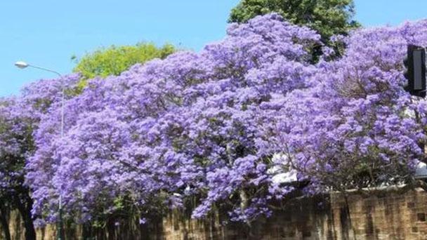 How to grow and care for Blue Jacaranda