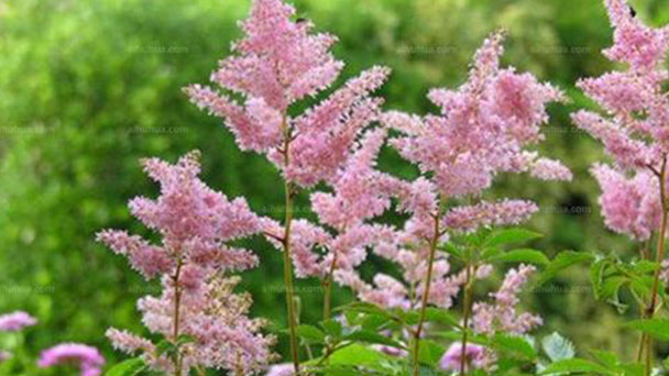 Chinese astilbe profile