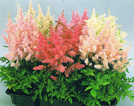 Chinese astilbe