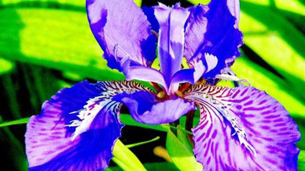 Irises profile