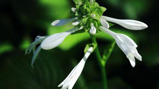 How to grow plantain lily