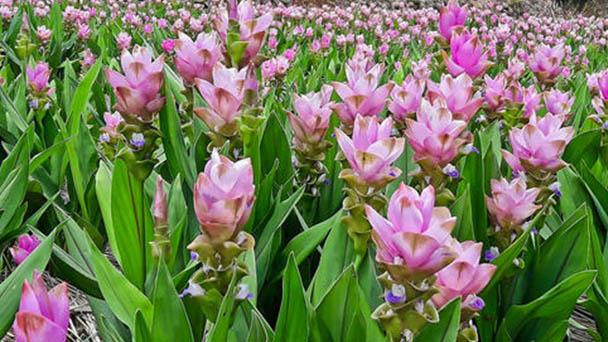 Siam tulip profile