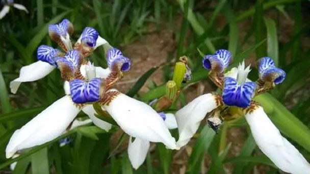 Walking Iris profile