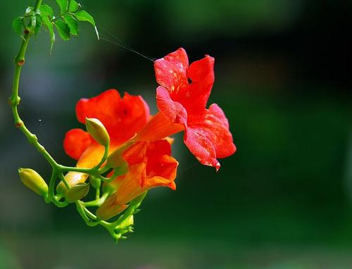 Chinese trumpet vine