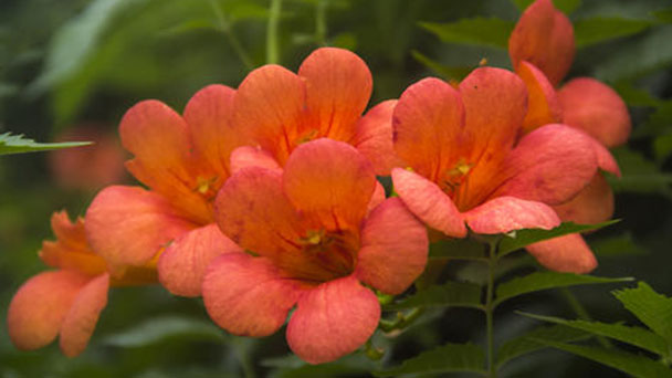 How to care for Chinese trumpet vine