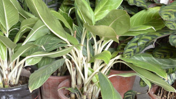 How to grow Chinese evergreen