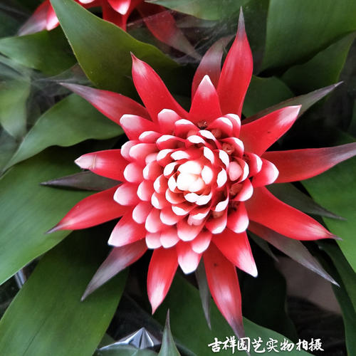 How to care for Chinese evergreen
