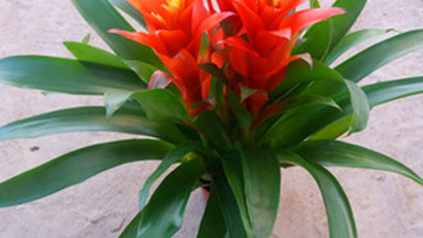 Propagation methods of Chinese evergreen