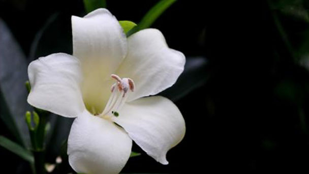 How to care for Perfume Flower Tree