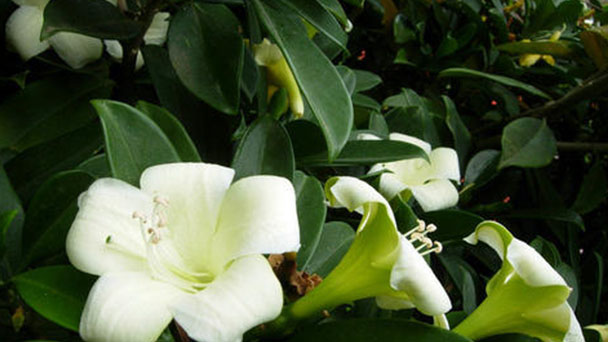 How to take care of Perfume Flower Tree