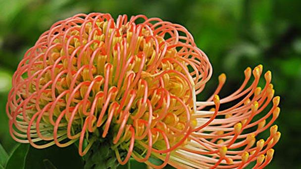 Pincushion flower profile