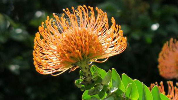 How to care for Pincushion flowers