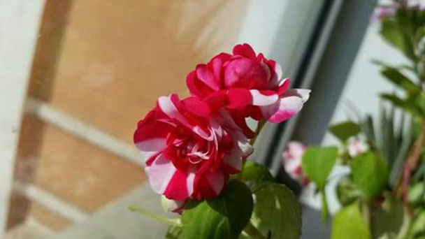 How to grow Water jasmine