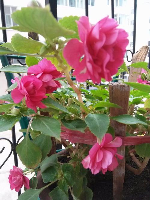 Water jasmine