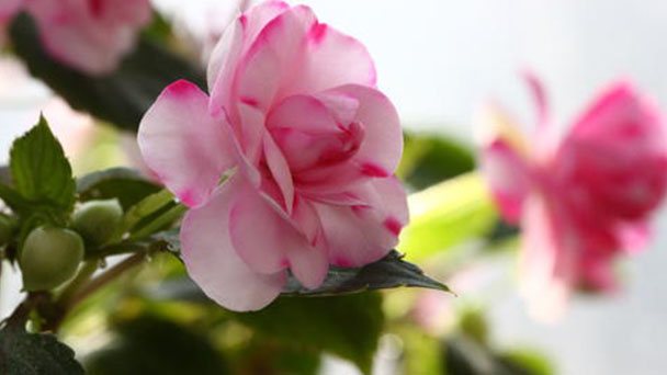 Propagation methods of Water jasmine
