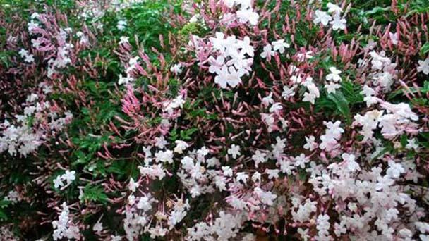 White Jasmine profile