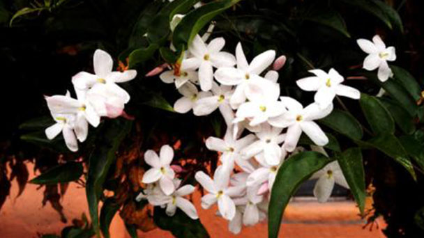 How to care for White Jasmine