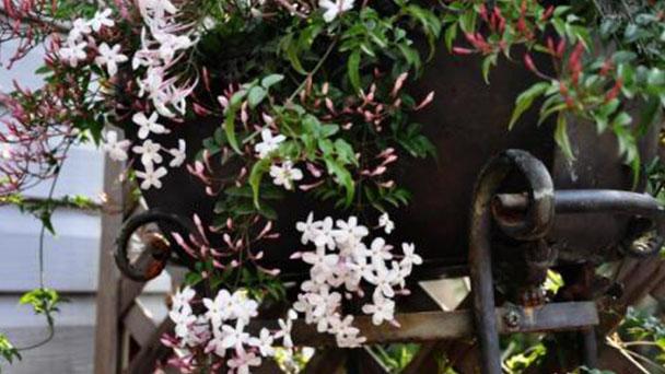 Propagation methods of White Jasmine