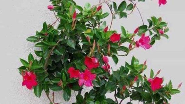 Brazilian jasmine profile