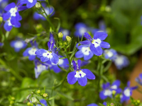 Edging Lobelia