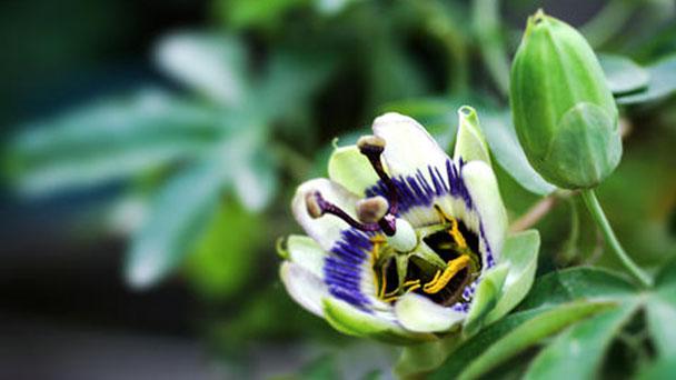 Passion flowers profile