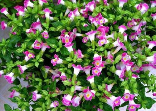 Wishbone flower