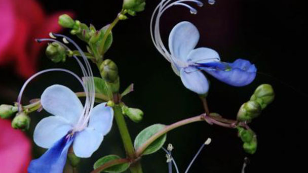 Butterfly pea profile