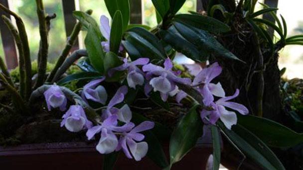 Dendrobium primulinum profile