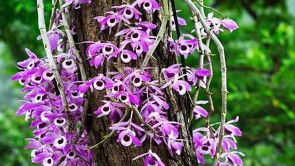 Dendrobium primulinum care