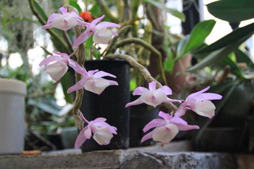 Dendrobium dendrobium