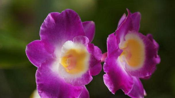 Propagation methods of Dendrobium primulinum