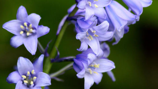 How to care for English Bluebell