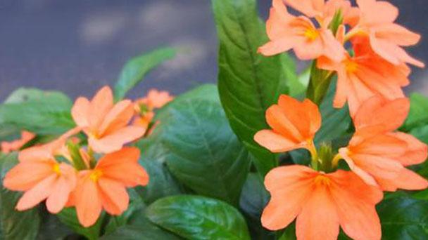 Firecracker flower profile