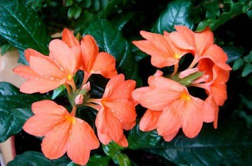 Firecracker flower