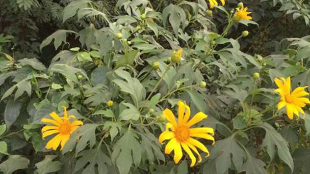 Mexican sunflower profile