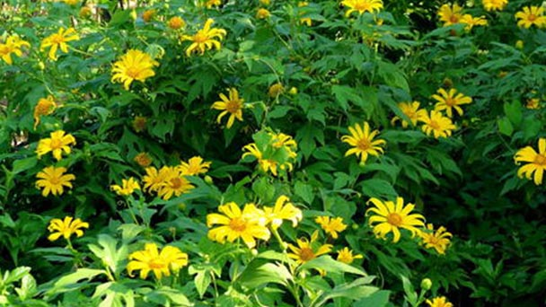 How to care for Mexican sunflowers