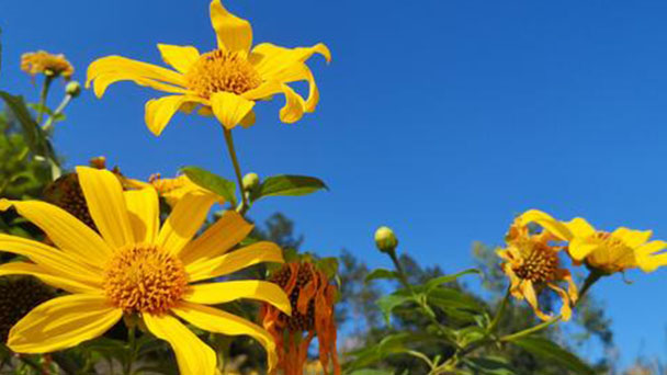 Propagation methods of Mexican sunflower