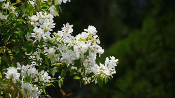 Pearl bush profile