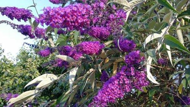 Pole butterfly bush profile