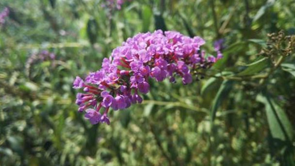 7 tips for Pole butterfly bush care