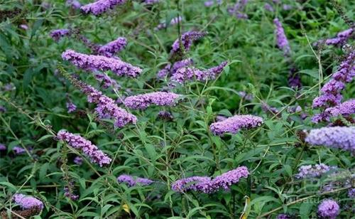 Pole Butterfly Bush