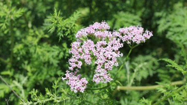 How to care for Valerian