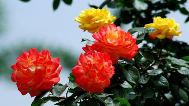 10 flowers suitable for growing in northern China in winter