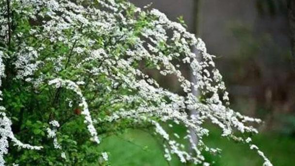 How to grow and care for Bouvardia Hybrida