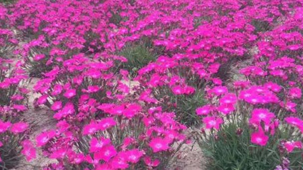 How to grow and care for Carthusian Pink