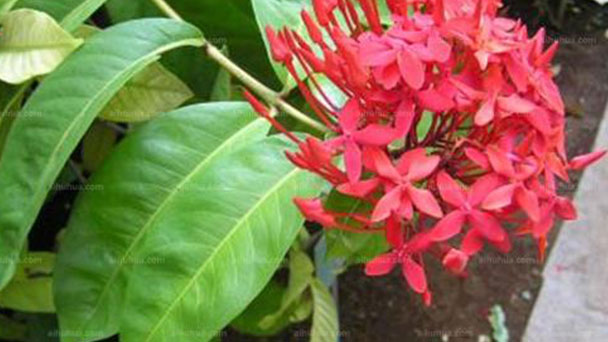 6 tips for Chinese Ixora care
