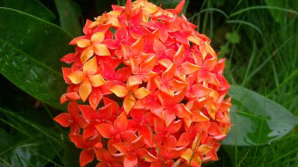 How to care for Chinese Ixora