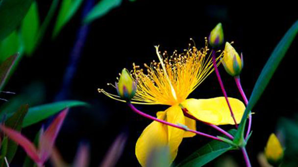 How to grow and care for St. Johns wort