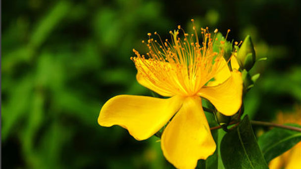 How to propagate St. Johns wort