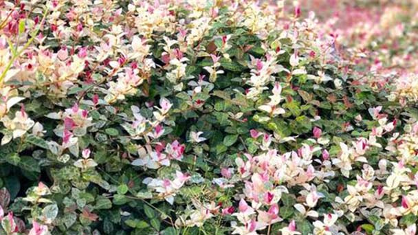Star jasmine profile